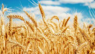 Australia xuất khẩu mạnh lúa mì sang thị trường Trung Quốc