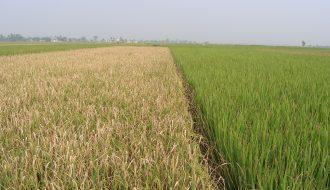 Bạc lá lúa - căn bệnh nguy hiểm cho cây lúa nhà nông