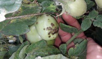 Bệnh đốm đen vi khuẩn gây ra tác hại không nhỏ đến cà chua