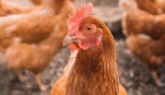 Bệnh thương hàn ở gà: Nguyên nhân và cách phòng trị dứt điểm