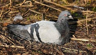 Biện pháp phòng ngừa và điều trị bệnh đậu trên chim bồ câu