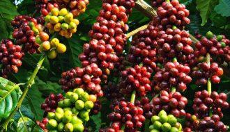 Cà phê được chú trọng mở rộng sản xuất hơn đậu tương tại Brazil