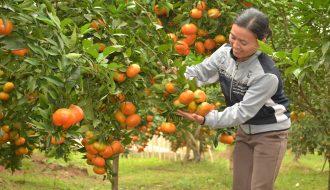 Các loại cam đặc sản tiêu biểu và được ưa chuộng tại Việt Nam