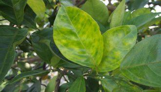 Các loại cây có múi và căn bệnh vàng lá cần phòng tránh
