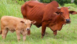 Cách điều trị bệnh viêm tử cung ở trâu bò bà con nên chú ý