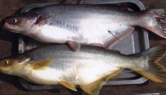 Cách nhận biết và biện pháp phòng trị bệnh ký sinh trùng thường gặp ở cá nuôi lồng bè
