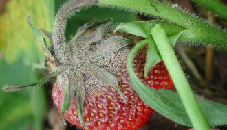 Giúp các nhà vườn đánh bại căn bệnh mốc xám trên dâu tây