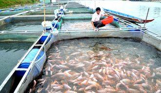 Cách phòng và trị bệnh thường gặp ở cá nuôi lồng bè tại miền Bắc