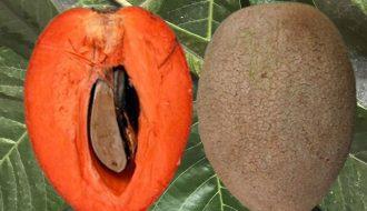 Cách trồng cây hồng xiêm ruột đỏ và giá trị dinh dưỡng mà nó đem lại