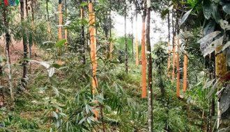 Cây quế Trà Bồng, giống cây khởi nghiệp cho nhiều nông dân