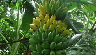 Chuối mật mốc Tân Long, trái cây được giá vụ Tết 2021