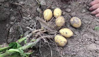 Cứu chữa sản lượng khoai tây khỏi căn bệnh héo vàng