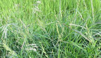 Đánh đuổi cỏ dại - kẻ thù hàng đầu trong thâm canh lúa