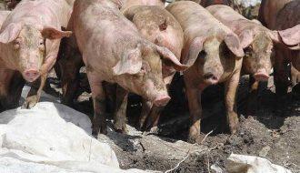 Dấu hiệu và cách nhận biết dịch bệnh tả lợn châu phi