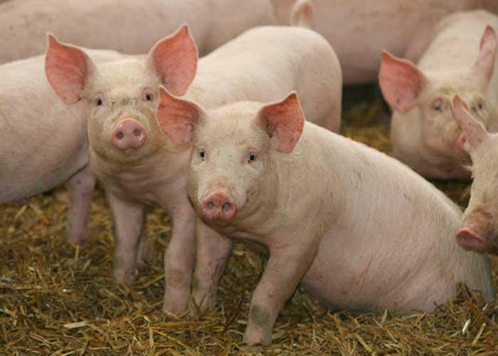 Chẩn đoán phân biệtDịch tả lợnchâu Phi và Dịch tả lợn cổ điển