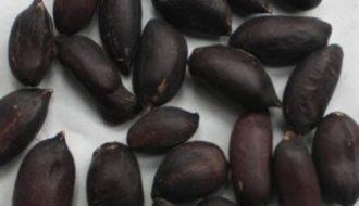 Giống cây lạc đen nhập nội mang lại giá trị dinh dưỡng cao hơn