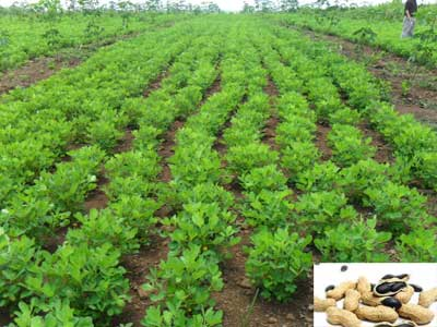 Lạc đen được trồng theo luống