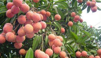 Giống vải trứng Hưng Yên được xuất phát từ cây vải tổ 150 tuổi