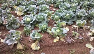 Giúp nhà nông giải cứu bắp cải khỏi căn bệnh gân đen
