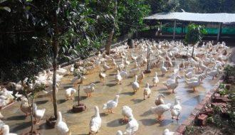 Hỗ trợ người chăn nuôi phòng ngừa và điều trị bệnh giun chỉ trên đàn vịt