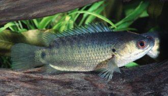 Hướng dẫn cách cho cá rô đồng sinh sản nhân tạo