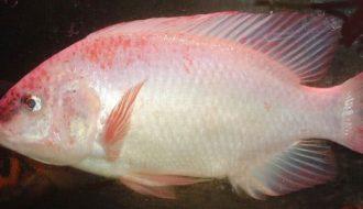Hướng dẫn cách nuôi cá điêu hồng sau vụ tôm đem lại hiệu quả cao