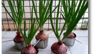 Hướng dẫn kỹ thuật trồng hành tây trong chậu đơn giản
