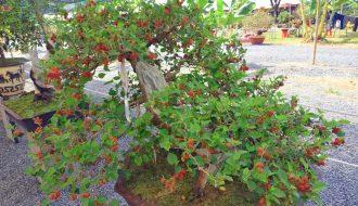 Hướng dẫn tự trồng cây dâu tằm tại nhà - kỹ thuật chăm sóc dâu tằm