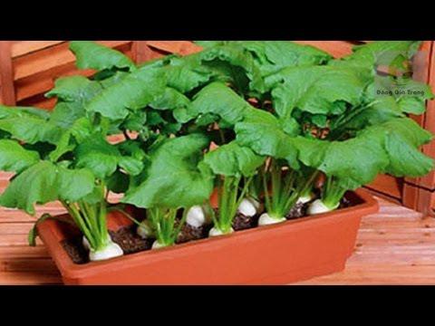 Củ cải được gieo đúng vụ