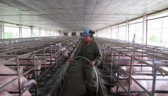 Mô hình chăn nuôi gia súc theo chuỗi trong thời kỳ hiện nay