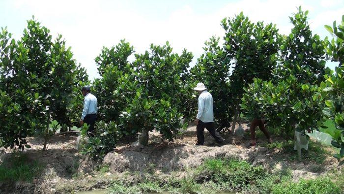Chuyển đổi cơ cấu cây trồng để ứng phó với hạn mặn