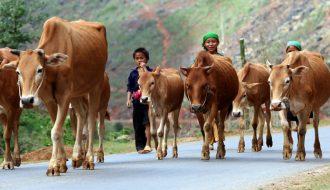 Nguyên nhân và giải pháp hạn chế vô sinh ở trâu bò
