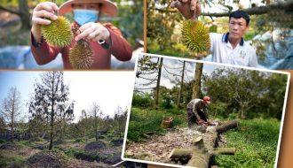 Nhiều ha cây ăn trái nguy cơ xóa sổ do hạn mặn lịch sử tại vùng đất 9 rồng