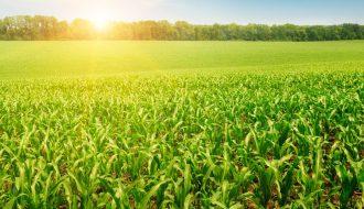 Những điều cần lưu ý khi trồng ngô sinh khối vụ đông