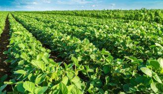 Những lưu ý khi trồng đậu nành rau trong mùa mưa đạt năng suất cao