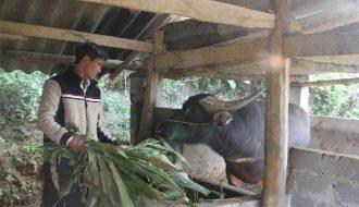 Phương pháp chăm sóc trâu bò trong thời tiết giá lạnh