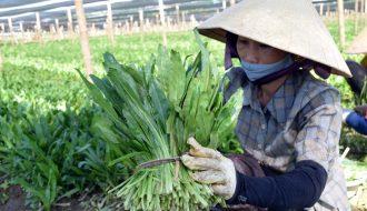 Phương pháp trồng mùi tàu giúp phát triển tốt vào mùa mưa