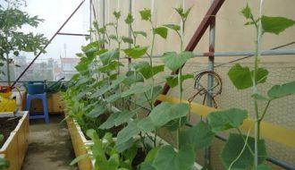 Quả dưa chuột có tác dụng gì và cách trồng dưa chuột như thế nào?