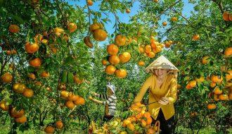 Quýt hồng Lai Vung - Loại cây đặc sản cần được bảo tồn