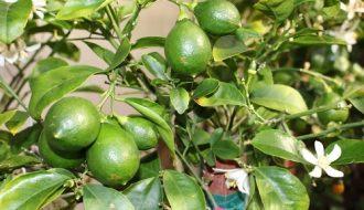 Tác dụng của chanh và hướng dẫn cách trồng cây chanh