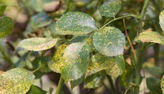 Bệnh rỉ sắt - một trong những căn bệnh phổ biến ở hoa hồng