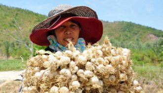 Tiến hành cải tạo và tập trung phát triển việc trồng hữu cơ tỏi Lý Sơn