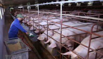 Việc áp dụng thực hiện chăn nuôi sinh học trong tái đàn lợn